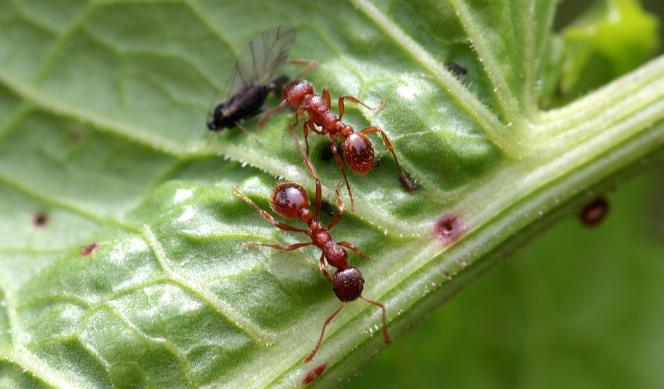 fourmis jardin